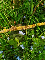 Nature (tubblesnap) Tags: swartha silsden nature spring flowers fields wildflower twig lichen forget me forgetmenot