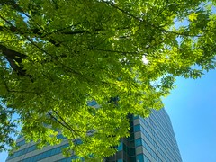 New leaves against clear sky and office building, sunny hot day in May Yokohama, Japan May 23, 2019 (DigiPub) Tags: 1151093195 gettyimages
