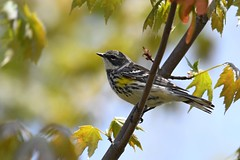 Yellow-rumped Warbler (kevinwg) Tags: bird tree leaves yellowrumped warbler yellowrumpedwarbler