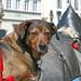 Hund auf dem Pferdewagen   /   Dog on the horse cart