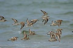 Sanderling (jon lees) Tags: murloughnnr wildlife sanderling calidris alba