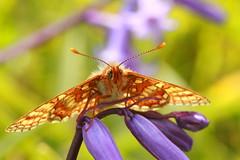 Marsh Fritillary (jon lees) Tags: murloughnnr wildlife