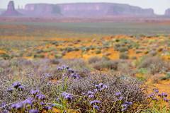 along the road ... (mariola aga) Tags: flowers arizona plants utah wildflowers monumentvalleynationalpark sandstonetowers landscape wilderness fantasticnature