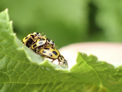 Coccinelle asiatique (◄Laurent Moulin photographie►) Tags: coccinelle asiatique ladybug harmonia axyridis jaune yellow black point olympus tg 4 accouplement reproduction trois 3 three femelle female mange eating puceron bug