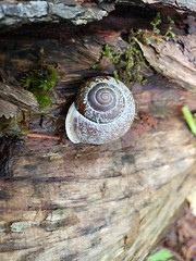 Oregon Forestsnail