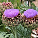 Artichoke blooms