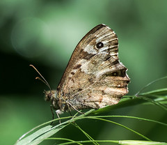 OTH Speckled wood