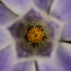 Vinca minor (Parowan496) Tags: macro vincaminor lesserperiwinkle dwarfperiwinkle canon eos 80d tamron sp 90mm f28 di 11 272e canoneos80dtamronsp90mmf28dimacro11272e ƒ45 900mm 1250 400 flower violet purple