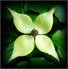Natural Wonder (dimaruss34) Tags: newyork brooklyn dmitriyfomenko image flower dogwood