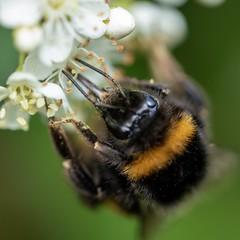 (Lux Aeterna - Eternal Light) Tags: bee