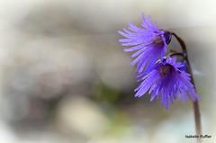 Gracieuses soldanelles (anatoliv73) Tags: macro nature courchevel flore alps alpes purple violet flower fleur soldanelle savoie
