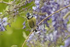 Blue Tit (2jaysjoju) Tags: bbcspringwatch bluetits nesting spring fledglings didnt quite make it this time wisteria