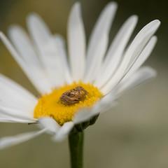 Xysticus cristatus (~ Jessy S ~) Tags: nikon d750 nikkor 105mm macro macrophotography 28 nature spiders spider araignée arachnides flower fleur square