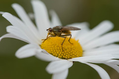 Scathophaga stercoraria (~ Jessy S ~) Tags: nikon d750 nikkor 105mm macro macrophotography 28 nature bug bugs insectes insects fly mouche flower fleur