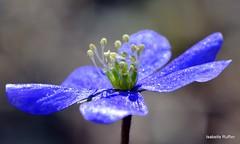 Hépatique (anatoliv73) Tags: nature macro courchevel flore alpes alps purple violet hépatique flower fleur savoie