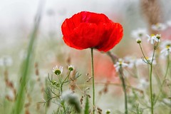 spicchi di primavera (mat56.) Tags: fiori flowers papavero papaveri poppies poppy natura nature prato lawn campagna sancolombanoallambro milano lombardia pianura padana rosso red antonio romei mat56 bokeh