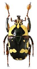 Cheirolasia burkei (major male) (dries.marais) Tags: