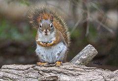 Hungry Squirrel (Rainfire Photography) Tags: squirrel hallsrd ajax ontario wildlife portrait nature spring