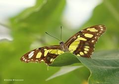 Take time to be a butterfly. – Gillian Duce (Ineke Klaassen) Tags: butterfly butterflies sony sonya6000 sonyimages sonyalpha sonyalpha6000 sonyilce6000 yellow inekeklaassen burgerszoo arnhem mangrove burgersmangrove malachietvlinder malachiet 2550fav 25favs 25fav 25faves 35fav 35favs 35faves 700views