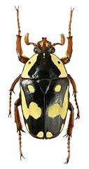 Cheirolasia burkei (minor male) (dries.marais) Tags: