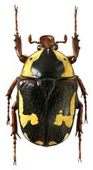 Cheirolasia burkei (female) (dries.marais) Tags: