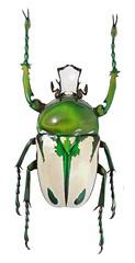 Taurhina splendens (male) (dries.marais) Tags: