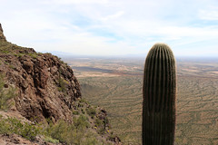 view south (wmpe2000) Tags: 2019 hike picachopeak view south cactus saguaro carnegieagigantea cactaceae cactusfamily ordercaryophyllales