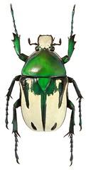 Taurhina splendens (female) (dries.marais) Tags: