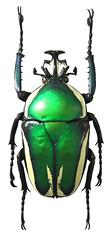 Dicronorrhina derbyana (male) (dries.marais) Tags: