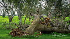 Storm Damge (Jeffrey Balfus (thx for 5,000,000 views)) Tags: losgatos ca us nature storm tree fallen sonya7ii ilce7m2 tmiaward larinconada fallengiant