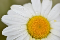 ox eye daisy - after a shower (conall..) Tags: nikon afs nikkor f18g lens 50mm prime primelens nikonafsnikkorf18g closeup raynox dcr250 macro oxeye daisy oxeyedaisy leucanthemum vulgare leucanthemumvulgare pot county down tullynacree nw551041 annacloy garden northernireland patio container growing gardening in patiopot containergrowing patiogardening inapotonmypatio onmypatio