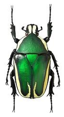 Dicronorrhina derbyana (female) (dries.marais) Tags:
