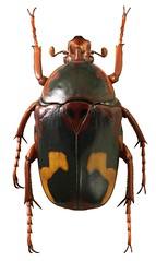 Anisorrhina flavomaculata (male) (dries.marais) Tags: