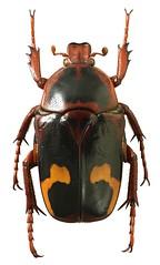 Anisorrhina flavomaculata (female) (dries.marais) Tags: