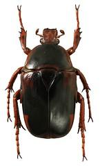 Anisorrhina flavomaculata (dries.marais) Tags: