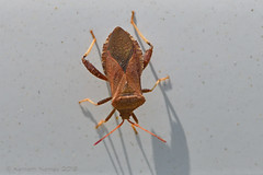 LEAF-FOOTED BUG 1 (k.nanney) Tags: arlington insect nikon texas tx squashbug coreidbug d500 texaswildlife tc14eii coreidae tarrantcounty leaffootedbug nikkor300mm euthochthagaleator nanney northcentraltexas kennanney kennethnanney texasinsects villagecreekdryingbeds afsnikkor300mmf4difed bug truebugs helmetedsquashbug