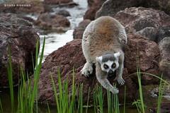 Lemur catta (Ineke Klaassen) Tags: ringstaartmaki lemurcatta animal mammal mammals sony sonya6000 sonyimages sonyalpha sonyalpha6000 sonyilce6000 ilce fauna outdoor burgerszoo apenverblijf lemur zoo dierentuin kata katas 25fav 25favs 25faves 1000views