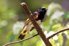 American Redstart (rwkphotos) Tags: americanredstart setophagaruticilla novascotia canada