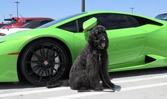 Benni loves a Lamborghini (Bennilover) Tags: dog dogs car exoticcars luxurycars sanclemente benni trade lamborghini green lamborghinis