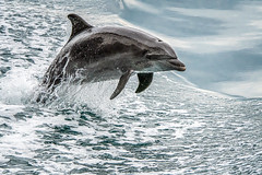 Leaping From  the Sea (helenehoffman) Tags: golfodul ceat delphinidae marinemammal mammal costarica conservationstatusleastconcern commonbottlenosedolphin beakeddolphins tursiopstruncatus cetacea beakeddolphin animal coth specanimal alittlebeauty coth5