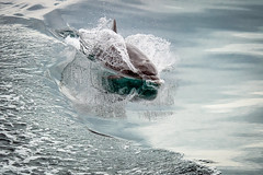 Reflected on the Surface (helenehoffman) Tags: golfodul conservationstatusleastconcern delphinidae mammal costarica ceat beakeddolphin animal tursiopstruncatus beakeddolphins cetacea commonbottlenosedolphin marinemammal