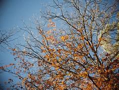 Autumn leaves (Matthew Paul Argall) Tags: jcpenneyelectronicstrobepocketcamera fixedfocus 110 110film subminiaturefilm lomographyfilm 200isofilm autumn autumnleaves