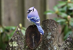 Stumped (Diane Marshman) Tags: bluejay large bird blue body wings tail feathers white markings chest breast black head ring crest tree stump spring pa pennsylvania nature wildlife birding rhododendron
