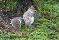 Something Stinks (Diane Marshman) Tags: graysquirrel squirrel gray white tan black fur bushy tail motion action large rodent expression grass moss tree roots spring pa pennsylvania nature wildlife