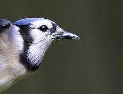 Profiled (Diane Marshman) Tags: bluejay large bird blue head crest body wings black neck ring white feathers closeup profile spring pa pennsylvania nature wildlife birding