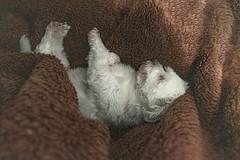 Dorminhoco (Stephanny Monteiro) Tags: dog puppy cão cachorro cachorrinho furry peludo peludinho fofo fofinho cute white branco cobertor felpudo blanket portrait retrato maltese maltês love best friend melhor amigo amor amorzinho catioríneo snoopy nikon nikond5600 d5600 nikkor 18mm photography photo picture soe sleeping sleepy dormindo dorminhoco adorable beautiful animal pet