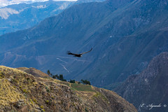 Condor (E. Aguedo) Tags: condor colca canyon arequipa peru southamerica andes volture bird animal wildlife mountainrange glider flying wings gryphus ngc nature