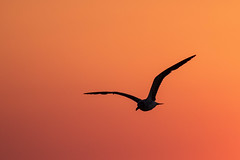 Silhouette Seagull at Sunset (dbadair) Tags: outdoor sea nature wildlife 7dm2 7d ii ef100400mm florida bird