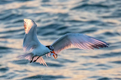 Royal Tern Catching (dbadair) Tags: outdoor sea nature wildlife 7dm2 7d ii ef100400mm florida bird