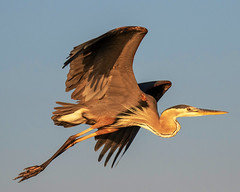 Great Blue Heron Inflight (dbadair) Tags: outdoor sea nature wildlife 7dm2 7d ii ef100400mm florida bird